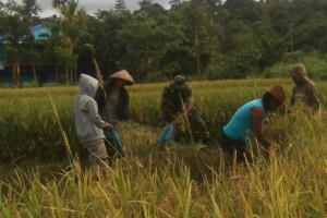 Babinsa Koramil Nabire dampingi petani panen padi