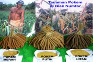 Pokem Papua makanan pendamping bergizi tinggi