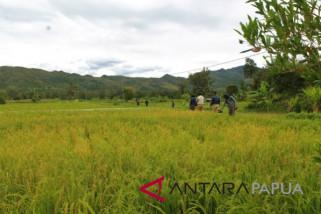 Puluhan hektare sawah di Jayawijaya terancam gagal panen