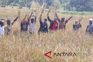Asisten Staf Khusus Presiden panen padi di Jayawijaya