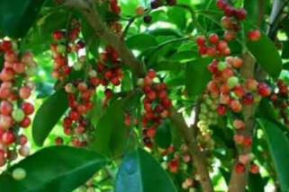 Warga Warsa budidayakan tanaman melinjo