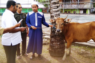 Pemkab Biak Numfor salurkan 10 sapi kurban