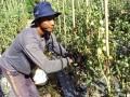 Harga Tomat Di Sentra Produksi Anjlok