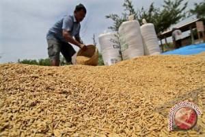 Petani Palolo Khawatir Kualitas Gabah Turun