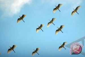 Burung Toroku, Satwa Endemik Danau Tambing