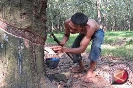 Harga Karet Anjlok, Petani di Morowali Menjerit