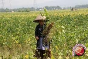 Sulteng Tanam Kedelai 20.000 Hektare