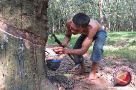 Harga Karet Petani Di Morowali Utara Anjlok