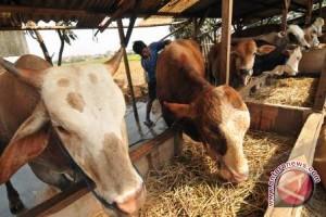 Pemprov Sulteng Targetkan Ternak Sejuta Ekor Sapi