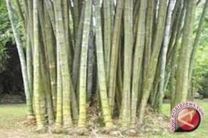 Bupati Sigi Budi Dayakan Tanaman Bambu