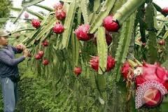 Nasdem kembangkan kebun buah naga di Donggala