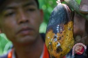 Petani Kakao Stres Gara-Gara Serangan Hama