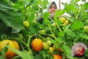Petani Sigi Panen Buah Tomat