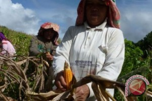 Sigi Sentra Produksi Jagung Terbesar Sulteng