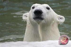 Makanan Beruang Kutub Tercemar