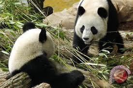 Rahasia warna hitam-putih panda