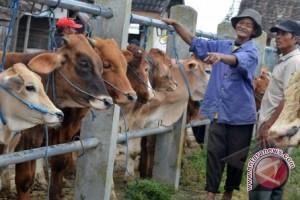 Pemerintah Bantu Asuransi 10.000 Ternak Sapi Sulteng