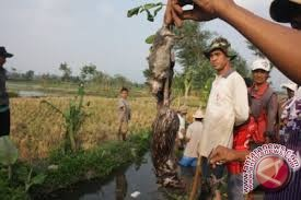 Hama tikus serang padi petani Lembantongoa