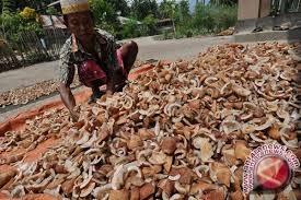 Petani keluhkan harga kopra   merosot