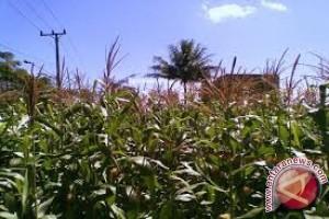 Distan Sulteng Bantu 49.900 Hektar Lahan Jagung