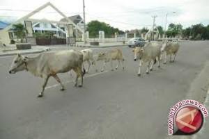DPRD nilai Pemkot Palu tidak maksimal terapkan perda ternak