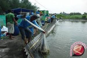 1.833 Hektare Tambak Udang Menuai Hasil