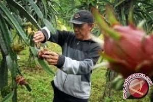Petani Sigi Kembangkan Buah Naga