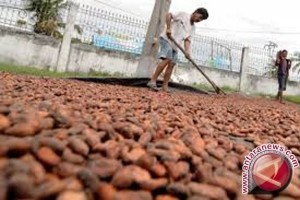 Hasil Panen Kakao Di Sigi Turun Drastis