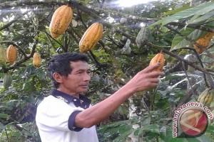 Panen kakao hasil program intensifikasi perkebunan