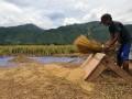 Panen Padi di Kabupaten Sigi