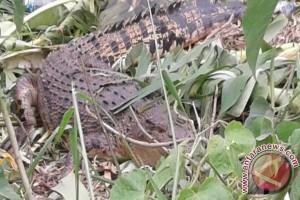Masyarakat Tatura Selatan Usulkan Jadi Kawasan Wisata Buaya