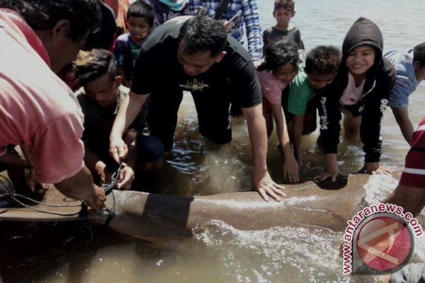 Ikan DuyungnTerdampar Di Tolitoli Dilepas