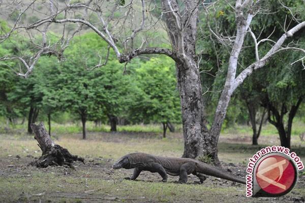 Pulusan rusa di Pulau Komodo diduga dibantai