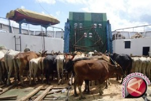 Pemprov Sulteng Pertahankan Pengiriman Antarpulau Ternak Sapi
