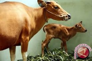 Sulteng Targetkan Kelahiran 21.647 Anak Sapi