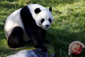 Panda Cai Tao-Hu Chun dikarantina di TSI
