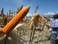 Petani memanen jagung di lahan pertaniannya di Desa Sidera, Kecamatan Biromaru, Kabupaten Sigi, Sulawesi Tengah, Selasa (11/10). Kementerian Pertanian optimistis bisa mencapai target produksi jagung 2017 sebanyak 3,5 juta ton dengan sokongan dana sebesar Rp3 triliun untuk perluasan lahan tanam jagung hingga dua juta hektare. ANTARASULTENG/Basri Marzuki/17