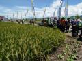 Sejumlah penyuluh pertanian memerhatikan tanaman padi dari benih varietas Inpari 24 pada Gebyar Perbenihan Tanaman Pangan tingkat nasional di Desa Sidera, Kecamatan Biromaru, Kabupaten Sigi, Sulawesi Tengah, Kamis (12/10). Gebyar perbenihan yang diikuti oleh seluruh provinsi di Indonesia itu menampilkan hasil-hasil aplikasi teknologi perbenihan anekan tanaman pangan yang populer di kalangan petani. ANTARASULTENG.COM/Basri Marzuki/17