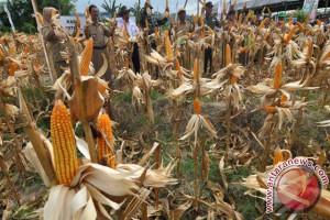 Tojo Una-Una ekspor jagung 3.900 ton