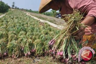 Pemerintah pusat bantu petani  bawang merah Sulteng
