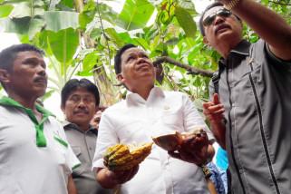 Petani Sigi keluhkan buah kakao terserang hama