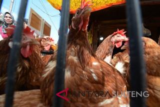Palu datangkan ayam dari Kaltim