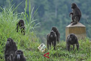 Kelompok Kera Hitam Sulawesi