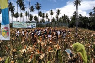 Menteri Pertanian panen jagung di Tojo Unauna