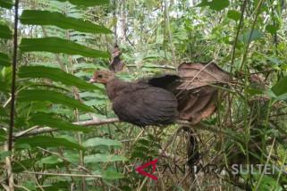 Anak burung maleo hasil penangkaran PT.DSLNG