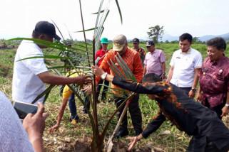Morowali Utara canangkan gerakan menanam sagu