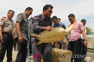Kedapatan bawa penyu sisik, ABK asal Banggai Laut ditangkap polisi