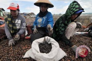 Produksi Jambu Mete Petani Pulau Wawonii Melimpah
