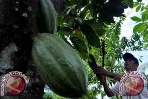 Sulawesi Sumbang 50 Persen Produksi Kakao Nasional
