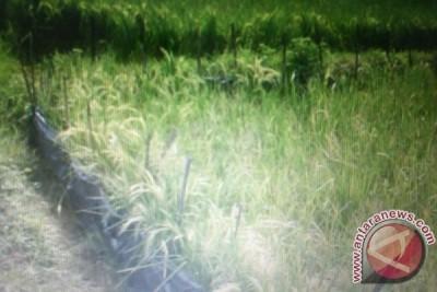 Petani Khawatir, Tanaman Padi Diserang Tikus